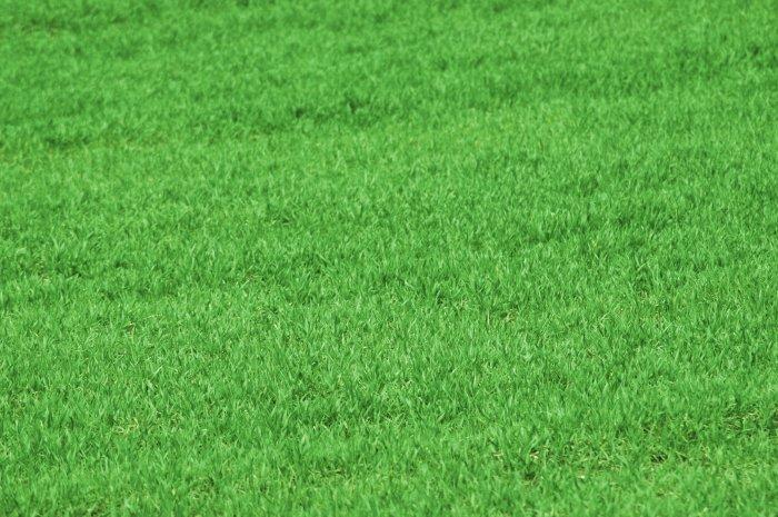 Газонная трава (1)