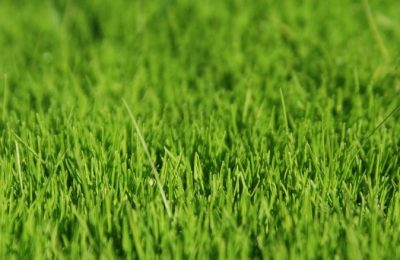 Газонная трава (12)