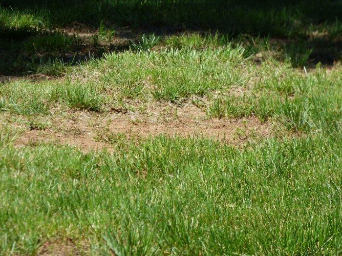 Газонная трава (17)