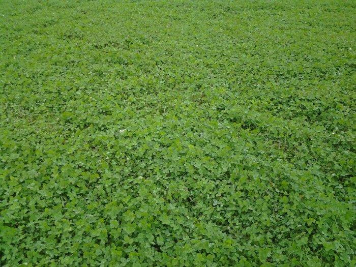 Газонная трава (19)