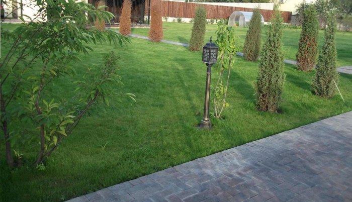 Газонная трава (21)