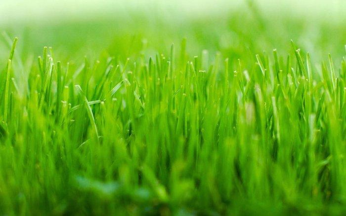 Газонная трава (22)