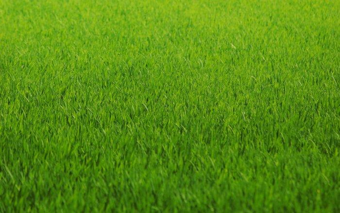 Газонная трава (23)