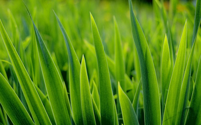 Газонная трава (24)