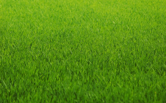 Газонная трава (25)