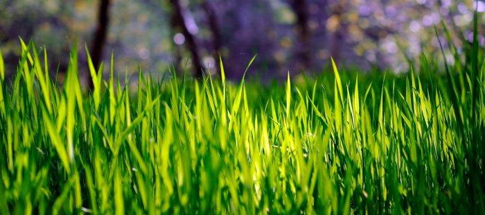 Газонная трава (26)
