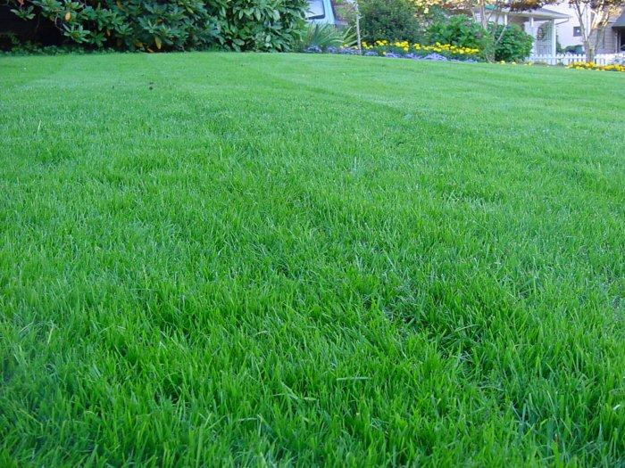 Газонная трава (27)