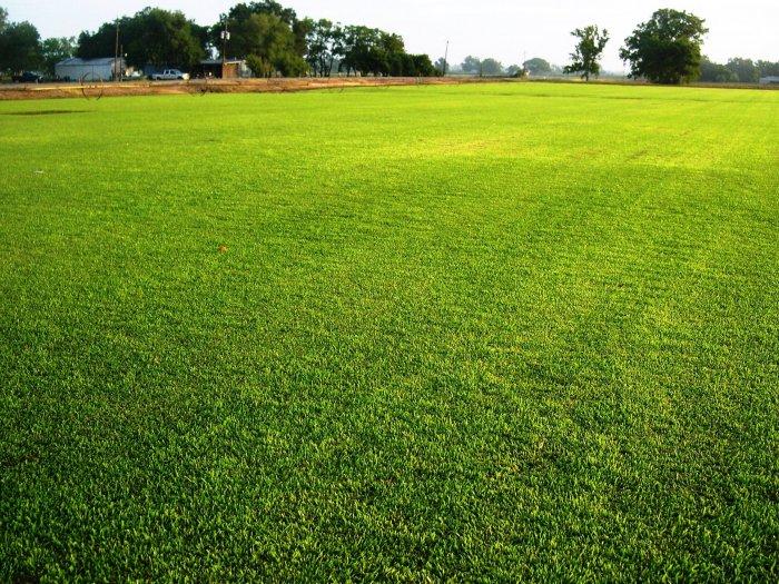 Газонная трава (3)