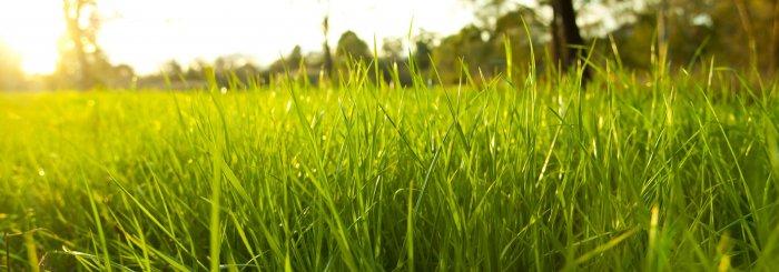 Газонная трава (31)