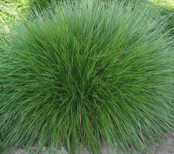 Газонная трава (39)