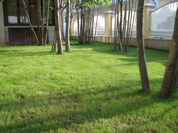 Газонная трава (43)