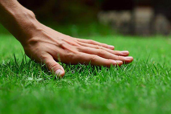 Газонная трава (48)