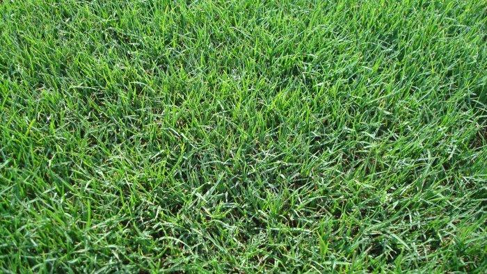 Газонная трава (52)