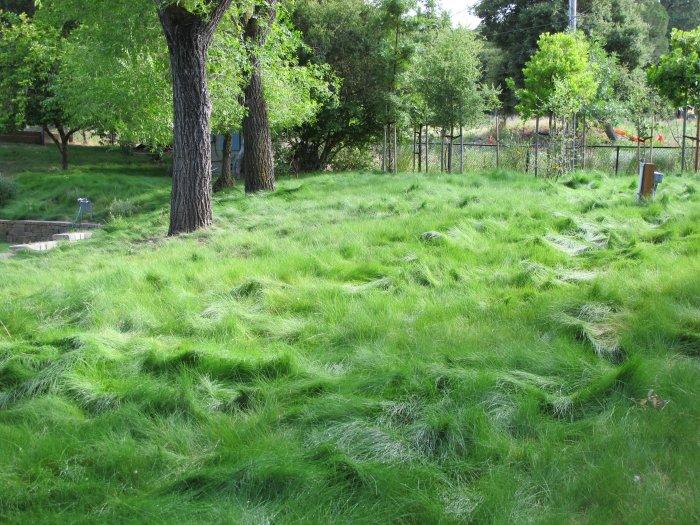 Газонная трава (54)