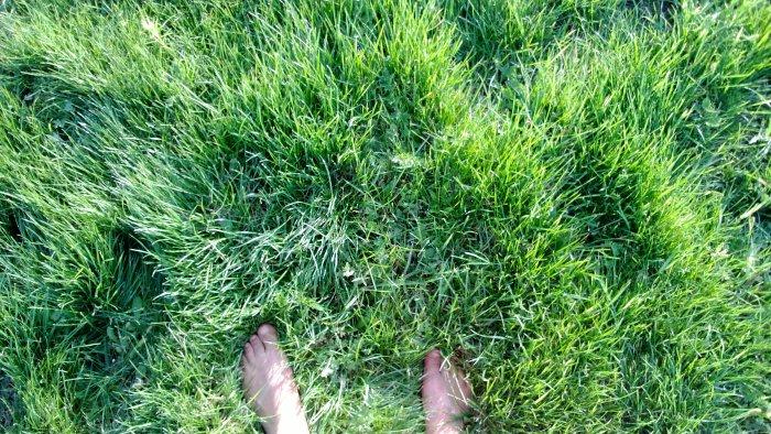 Газонная трава (56)