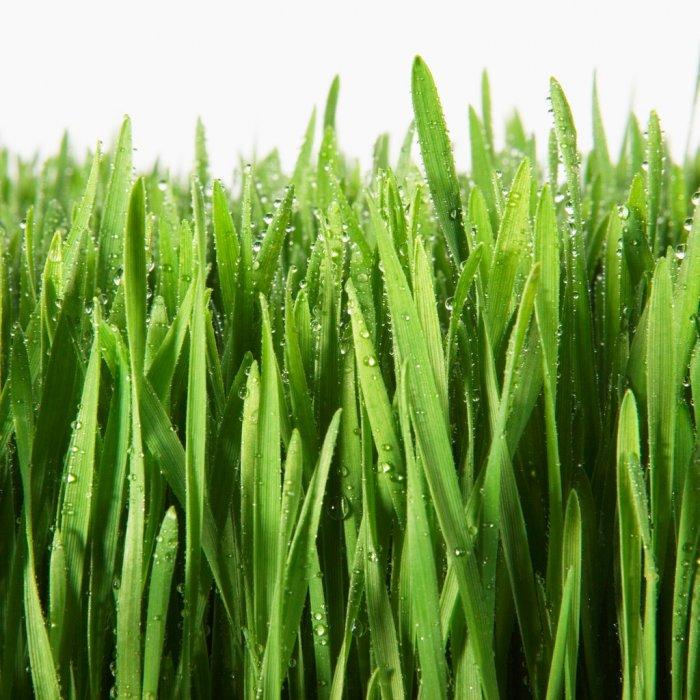 Газонная трава (6)