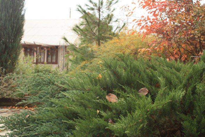 Декоративные кустарники для дачи (3)