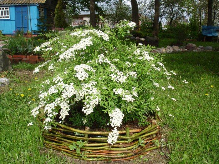 Декоративные кустарники для дачи (33)