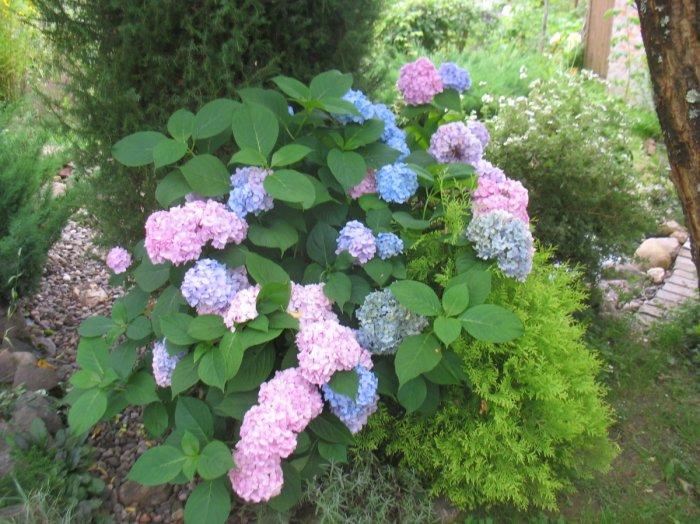 Декоративные кустарники для дачи (4)
