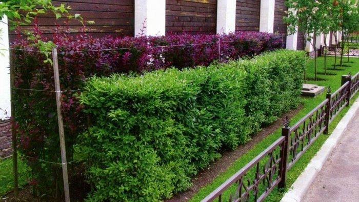 Декоративные кустарники для дачи (58)