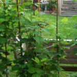 Декоративные кустарники для дачи (6)