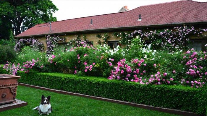 Декоративные кустарники для дачи (64)