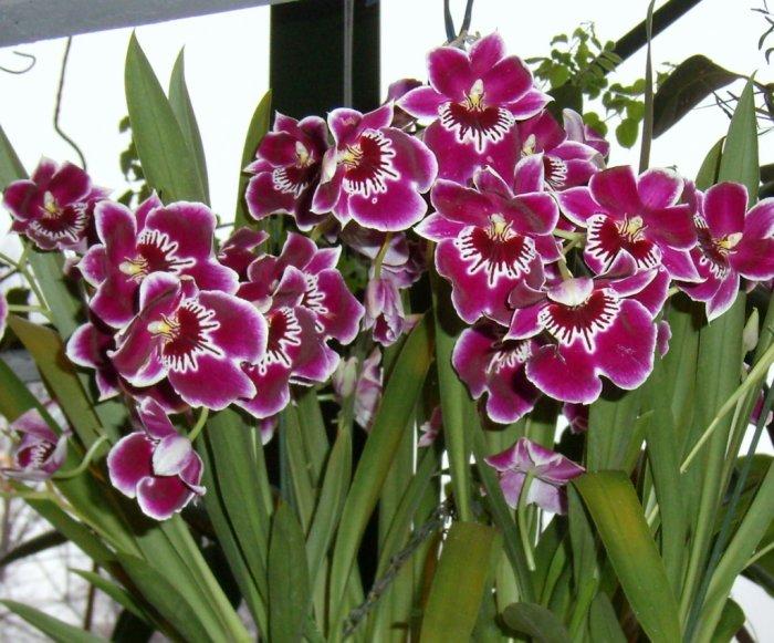 Орхидея (1)
