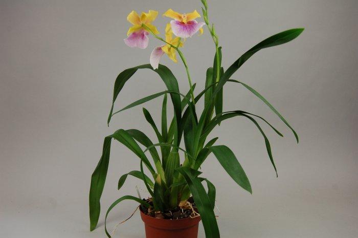 Орхидея (10)