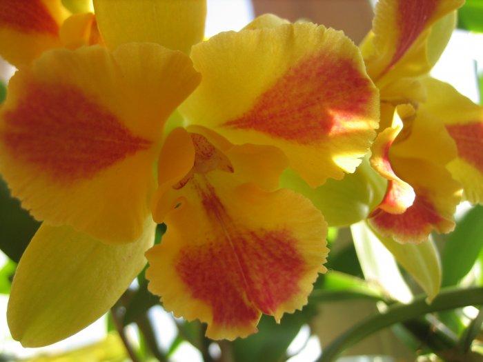 Орхидея (11)