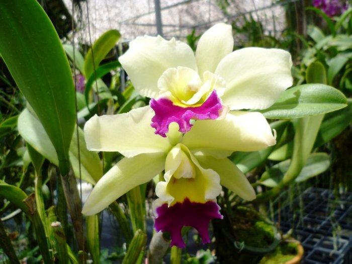 Орхидея (12)
