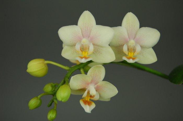 Орхидея (13)
