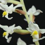 Орхидея (14)