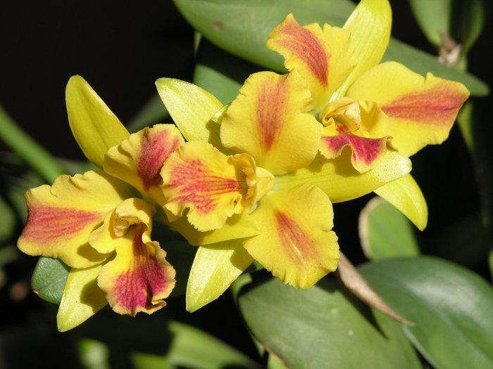 Орхидея (15)