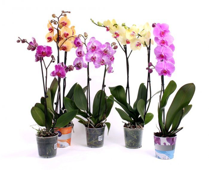 Орхидея (16)