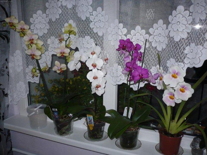 Орхидея (17)