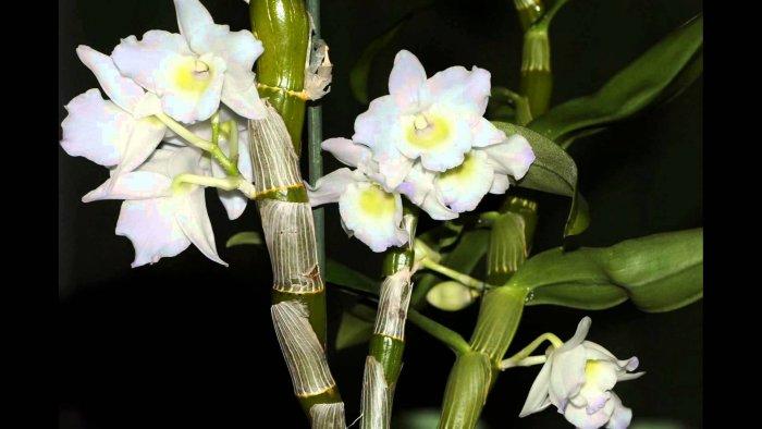 Орхидея (18)