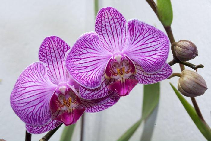 Орхидея (19)