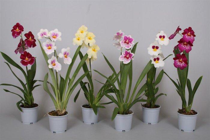 Орхидея (2)