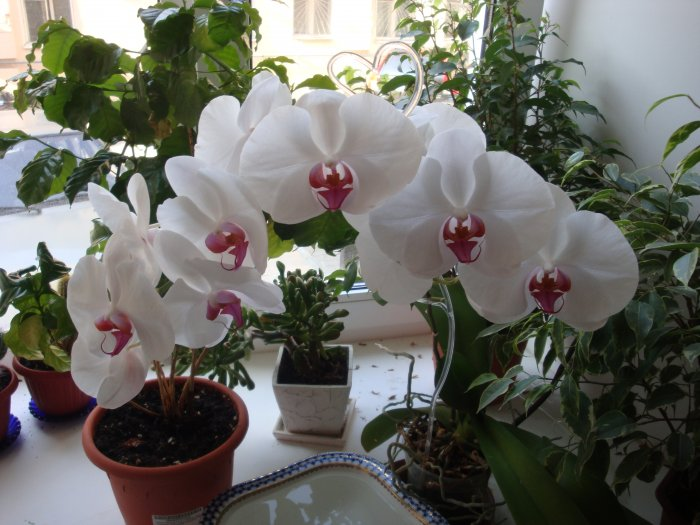 Орхидея (20)
