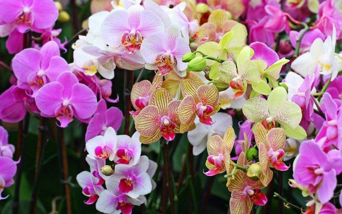Орхидея (21)