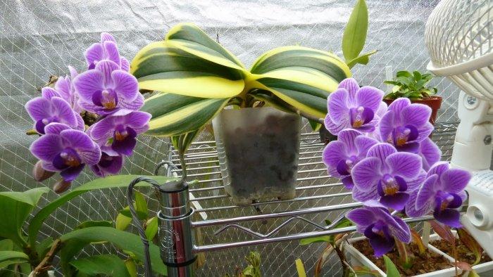 Орхидея (23)