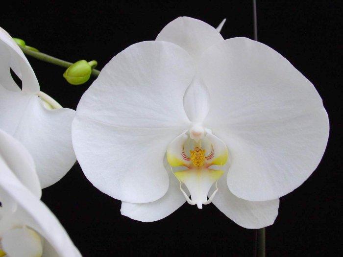Орхидея (24)