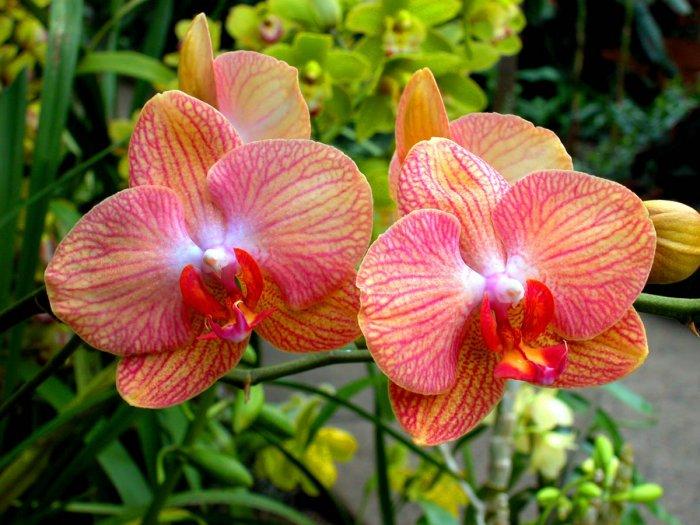 Орхидея (25)