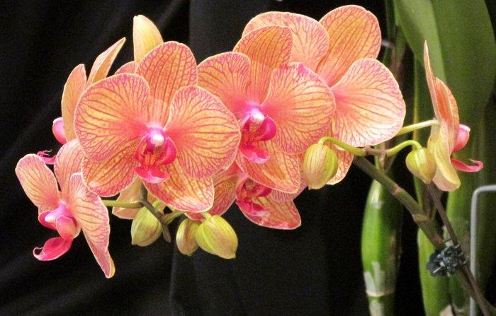 Орхидея (26)