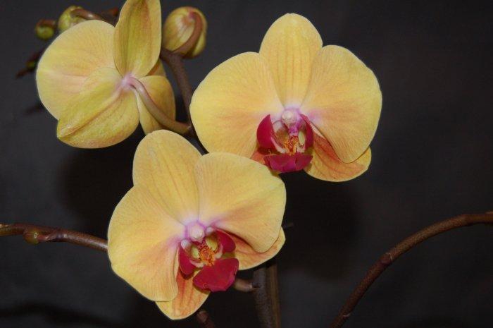 Орхидея (27)