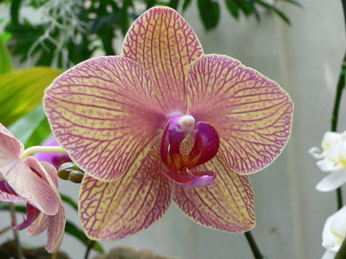 Орхидея (28)
