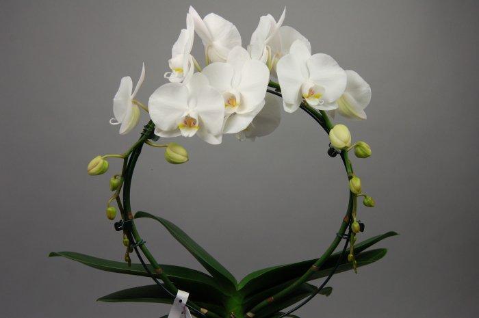 Орхидея (29)