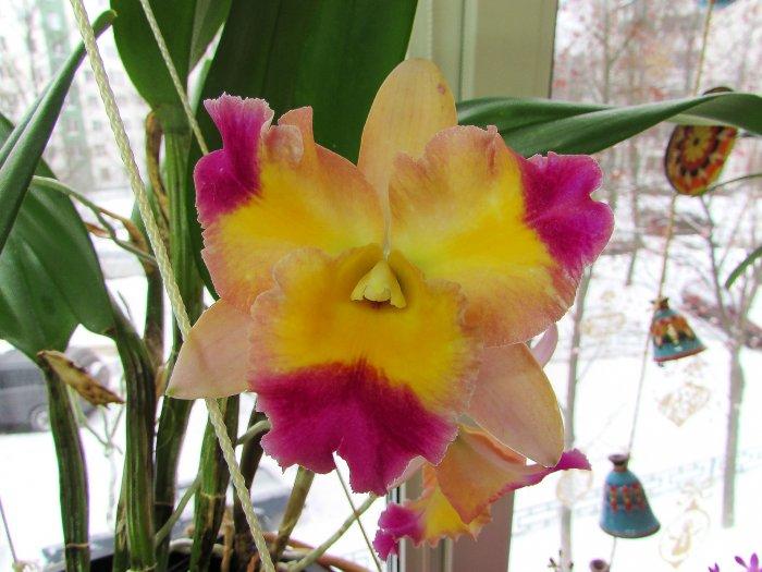 Орхидея (3)