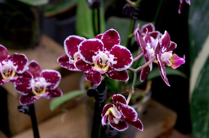 Орхидея (30)