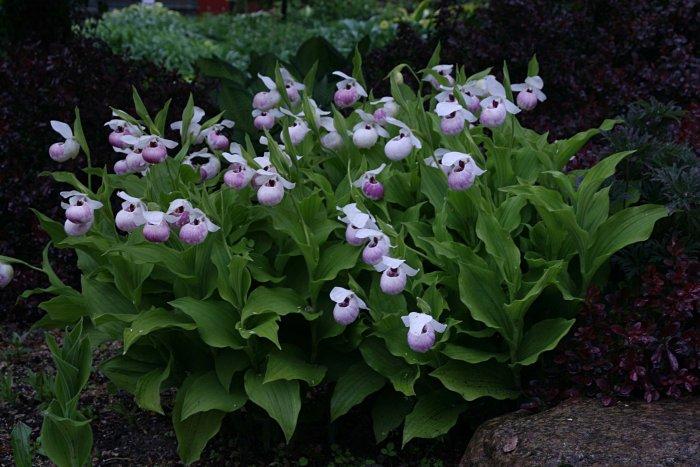 Орхидея (31)